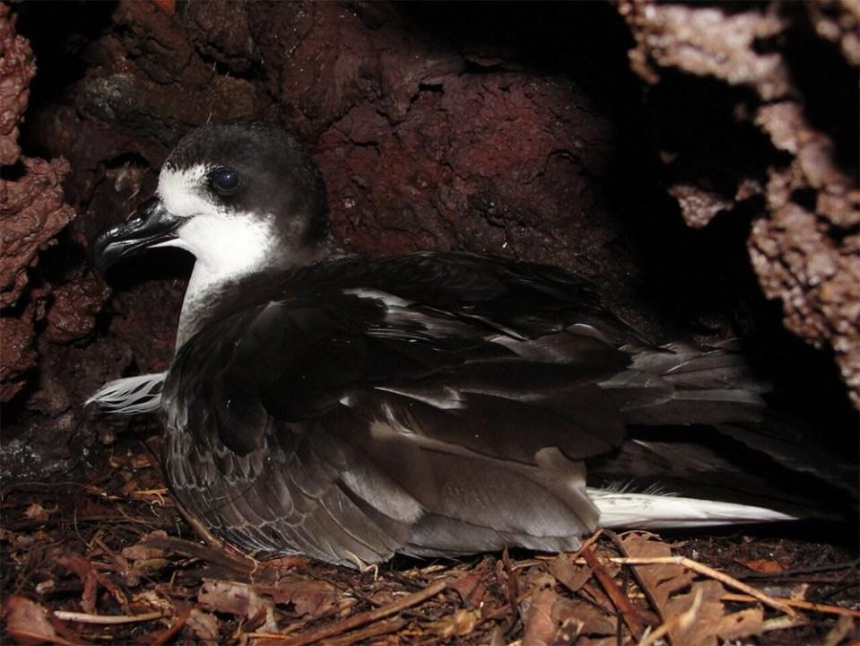island-conservation-invasive-species-preventing-extinctions-wandering-BBC-newsroom-nick-holmes-galapagos-petrel-floreana