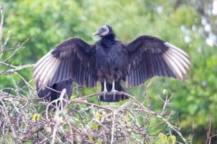 Black Vulture  001