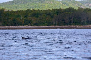 Fin Whale