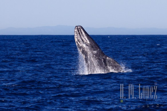 Whales SD  092