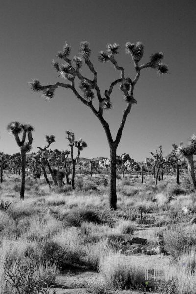 joshua tree np  011