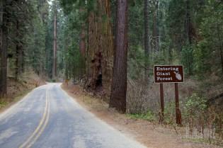 Sequoia  032