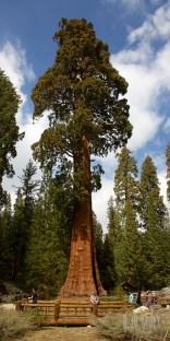 Sequoia 042