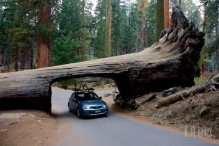 Sequoia  043