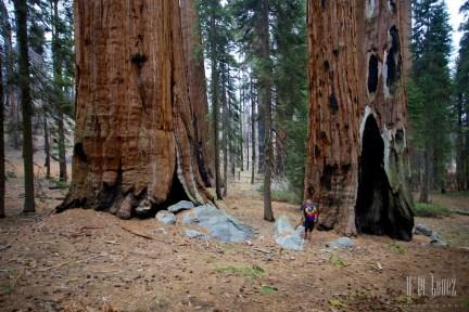 Sequoia 051