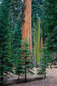 Sequoia  054