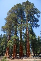 Sequoia 077