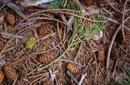 Sequoia  093