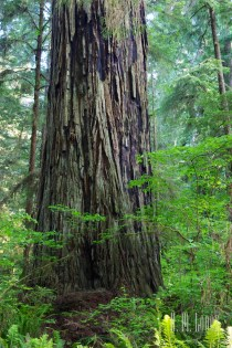 north redwoods  067