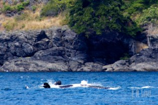 fuzzy picture … but this whale is swimming on its back!