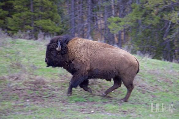 Yellowstone Madison007