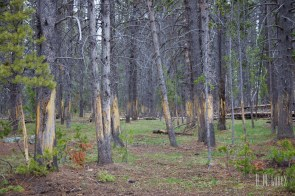 Trees damaged by Bison scratching