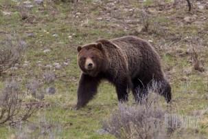 Yellowstone Madison024