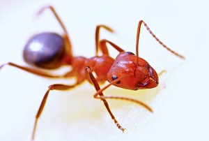 ant-macro-insect-red-40825-large
