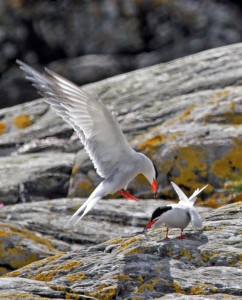 PeterMurphyCommonTerns