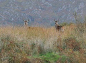 Red-deer-hinds-on-Carna