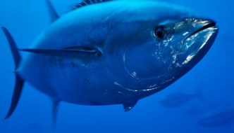 Bluefin Tuna in Malta: Slime is the Least of the Problems