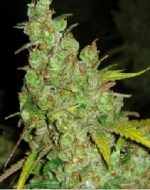 , Very Strong Cannabis Strains 01