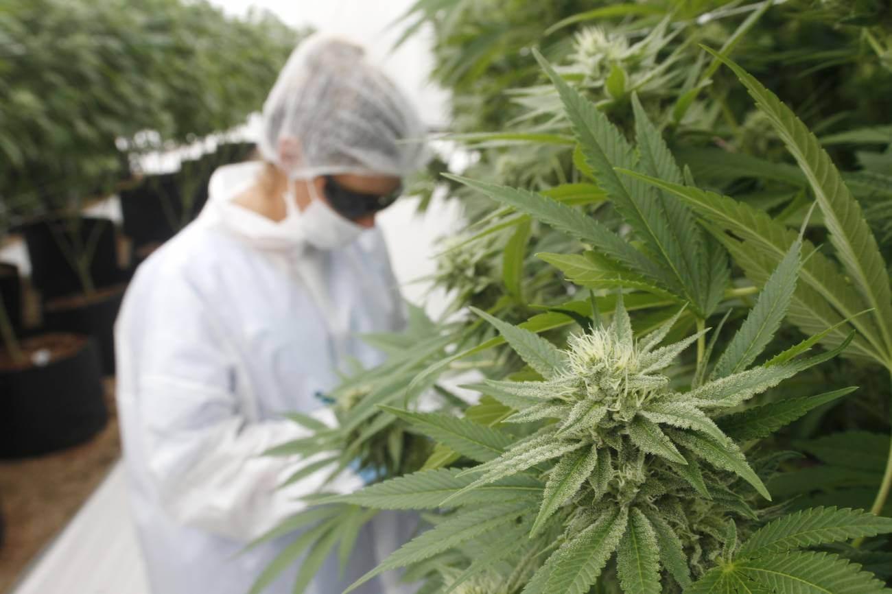 Un fármaco derivado del cannabis promete aliviar el dolor mejor que el CBD