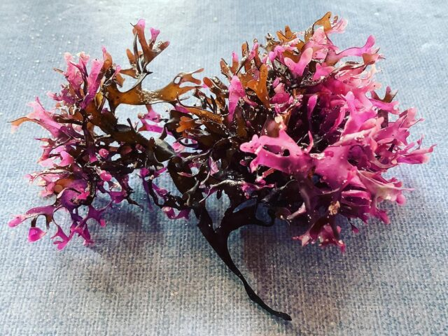 Beautiful seaweed, such a vibrant colour. . . . Mastocarpus stellatus, similar to but not Chondrus crispus, Irish moss.  #seashore #Bretagne #Mastocarpusstellatus #izzymooreart