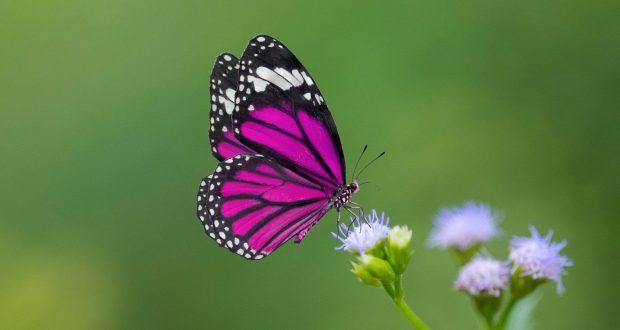 cropped-Farfalle-come-presagi-i-loro-colori-e-significati