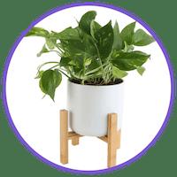 picture of a golden pothos plant