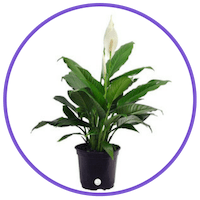 picture of a peace lily houseplant