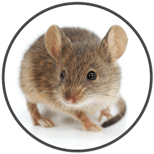 picture of the house mouse