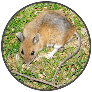 picture of a white footed mouse