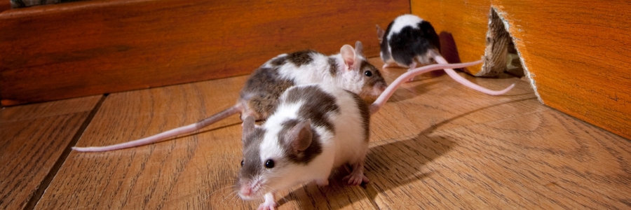 picture of mice in a house