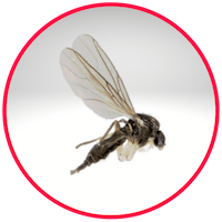 picture of a gnat