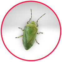 picture of a stink bug