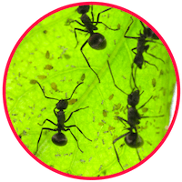 picture of common species of ants