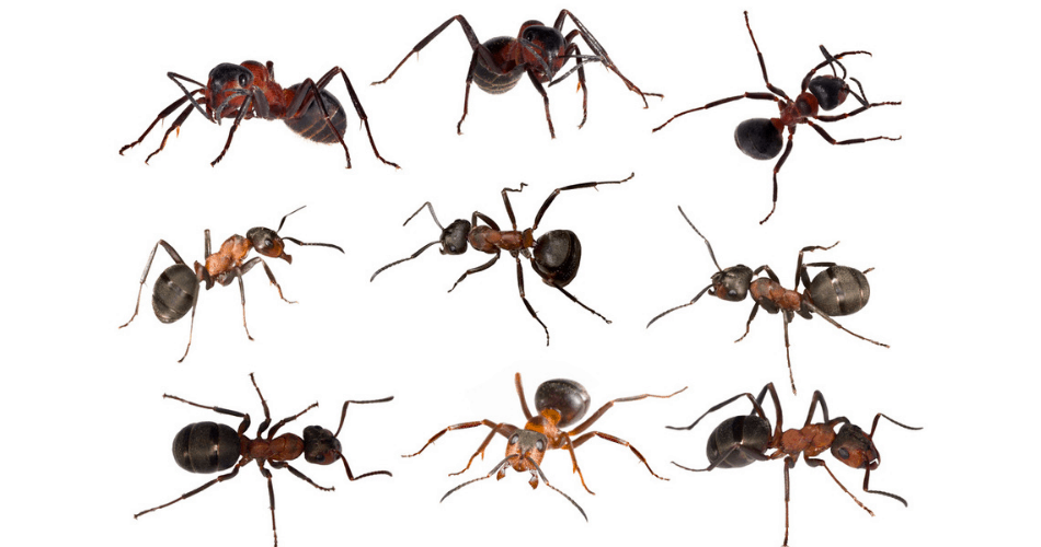 picture of common ant types