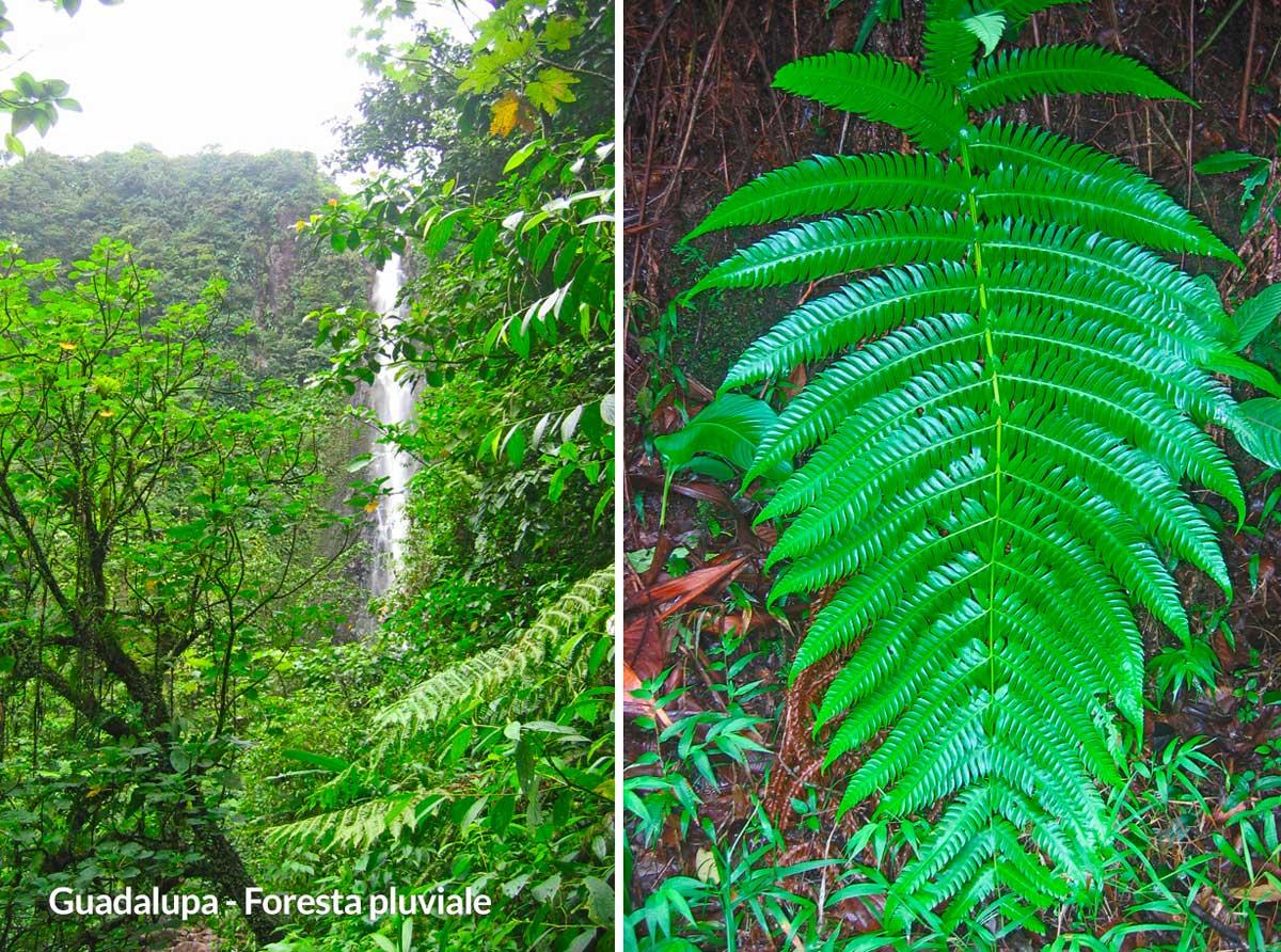 guadalupa foresta tropicale