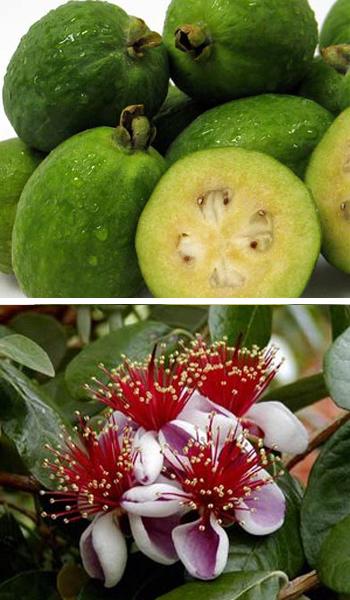 Strawberry Kiwi Plant