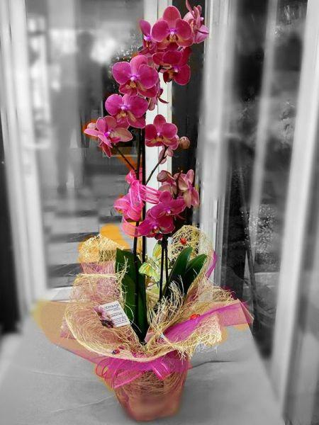 phalaenopsis-orkide-2-dalli-fusya-isparta-cicekci