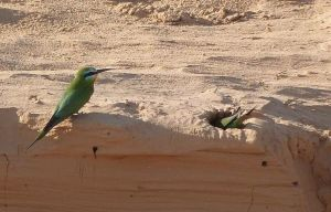 Blue-cheeked bee-eaters nest in sandy banks. Photo by Nehama Baruch