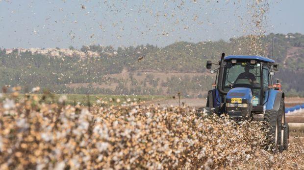 Harvesting wheat in Neve Ya'ar, site of the Volcani model farm. Photo: courtesy