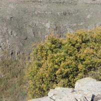 Valonia oak אלון התבור