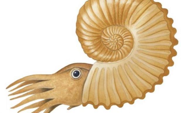Amonite - http://australianmuseum.net.au/image/ammonite-australiceras-jacki