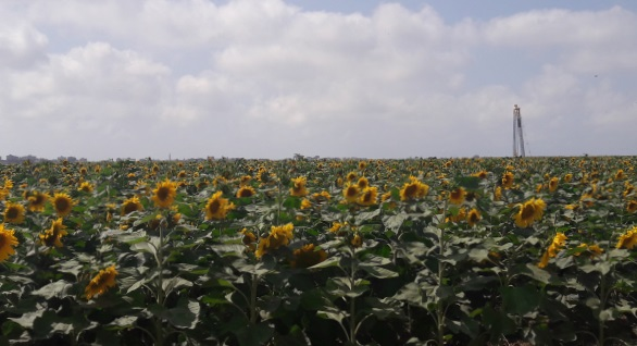 sunflower field near Gaza