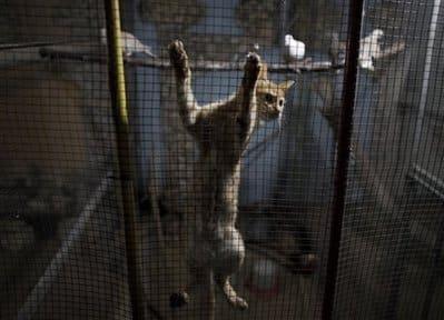Cat in Gaza zoo - AP