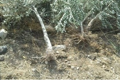 The uprooted olive trees