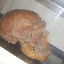 Череп, восстановленный в профиль. . Фото: Wikipedia, Карма2