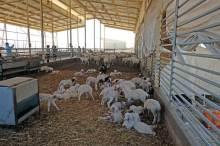 Чудо чудное - овечья ферма. Единственная бедуинская