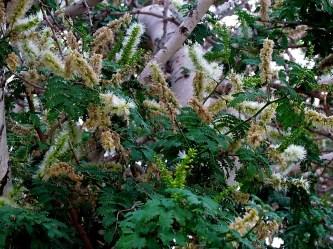 acacia-albida-img_5316 (2)