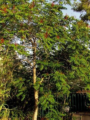 ailanthus-altissima-img_0287 (2)