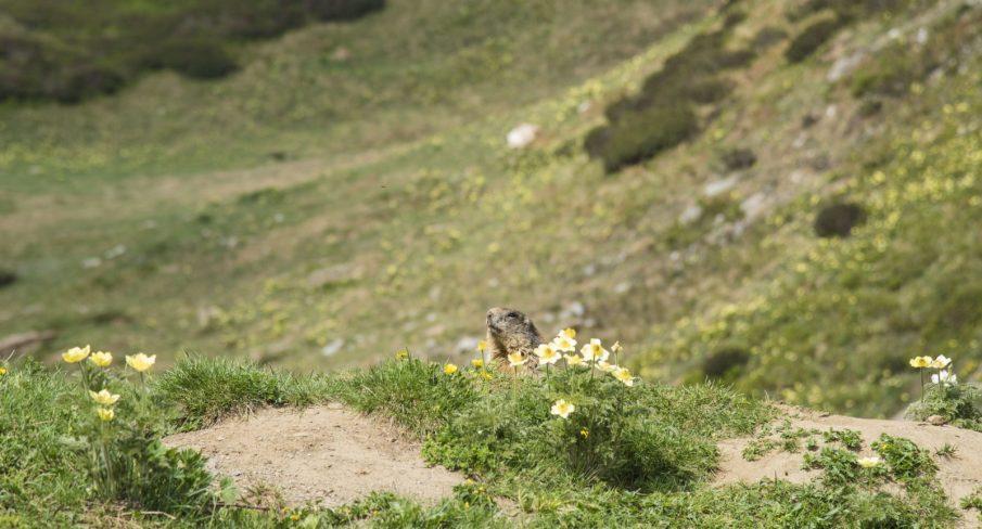 Marmotta - Laghi Boden - istanti in viaggio - val formazza - escursioni verbania