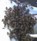 Bees-interrupt-football-match